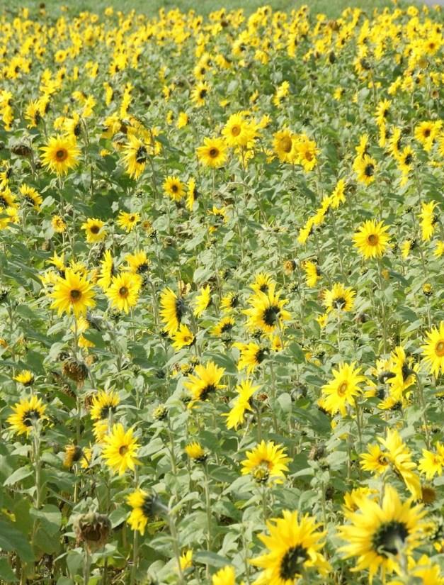 この写真見ると、ヒマワリの花は太陽の方を向く、ってのは間違いだってのが分かりますね。みんな好き勝手な方に向いてる。      あと、暇だったらこの写真、クリックしてみてください
